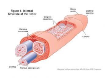 penisanatomy